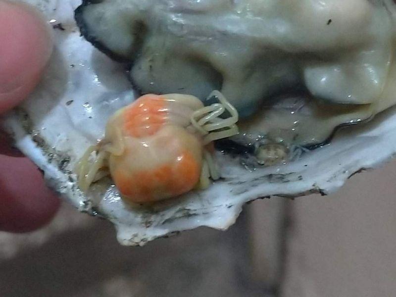 ▲網友一看照片紛紛表示這叫「豆蟹」,是與蚵仔共生關係的小型螃蟹,且這顆蚵仔還有兩隻。(圖/路上觀察學院)