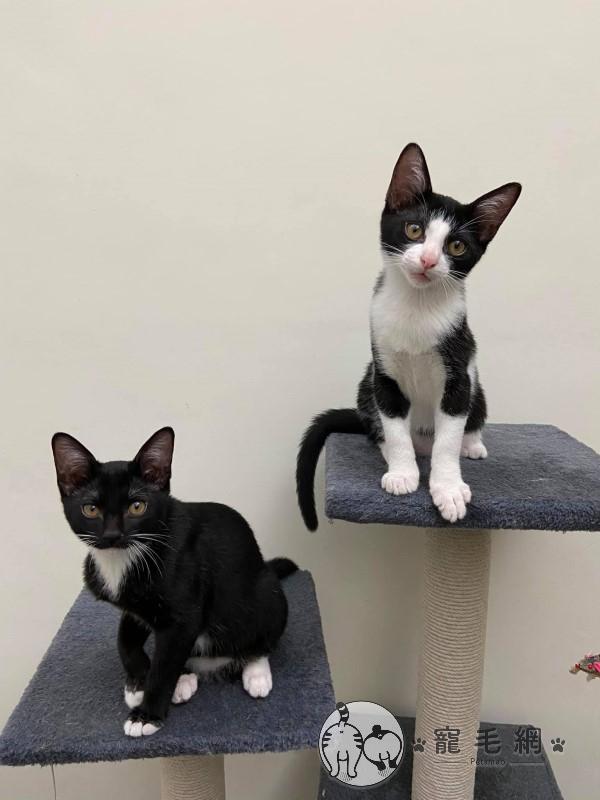 ▲網友Norah與姊姊養了一對八個月大的黑白貓「庫瑪」(左)與「星星」(圖/網友Norah
