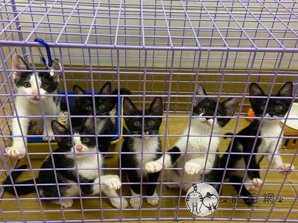 ▲誘捕到這一窩黑白貓家族,發現每一隻貓咪的顏值都很高(圖/網友Norah