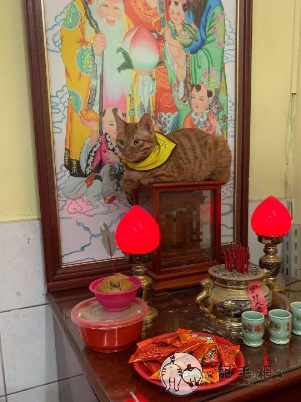 ▲日前爸爸又傳了橘子跳上神桌的影片覺得很有趣,隔天還暗示她:「有拜有保佑的虎爺怎麼沒上貓咪社團?」(圖/網友Norah