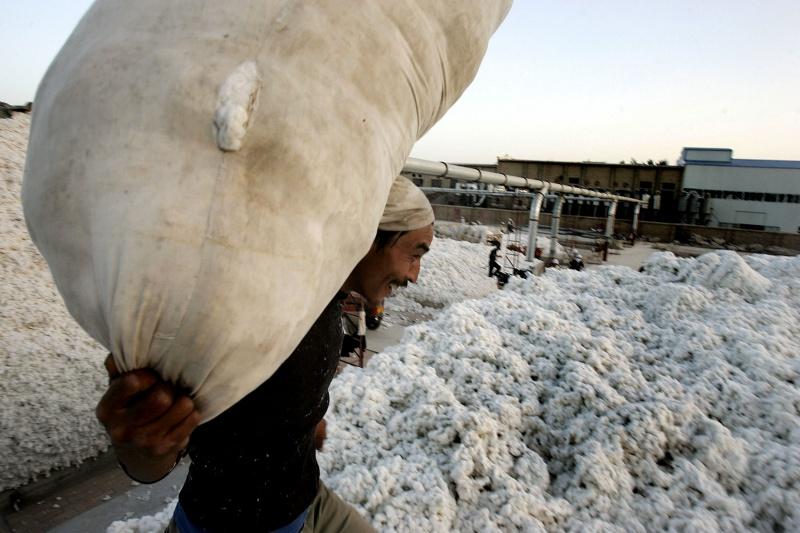 ▲人權組織6日提起刑事訴訟,指控西雅衣家(C&A)、連鎖平價超市歷德(Lidl)和雨果博斯(Hugo Boss)等5家德國零售業者,從中國維吾爾族的強迫勞動中獲利。圖為新疆工人採集棉花。(圖/美聯社/達志影像)