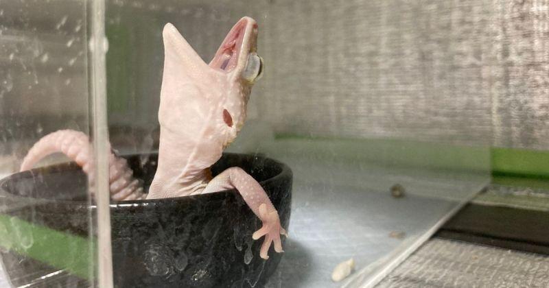 ▲近日,日本一名網友近日在推特分享「壁虎泡澡照」,只見牠手跨浴缸,露出放鬆舒爽的表情,貼文一出馬上引起網友熱議。(圖|翻攝自推特@reptiles_p)