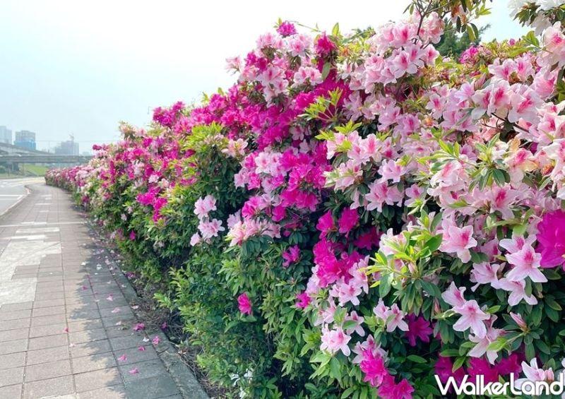▲新北高灘處悉心照料的三重「荷花公園」,在春暖花開的季節中開滿一整面「杜鵑花牆」。(圖/Taipei Walker提供)