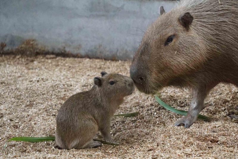 北市動物園新生水豚寶寶 呆萌如「動畫角色」:車車!