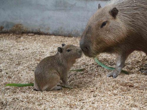 ▲水豚媽媽「阿皮」雖然個性膽小加上容易緊張,但充滿母愛,把水豚寶寶照顧得無微不致(圖/Taipei