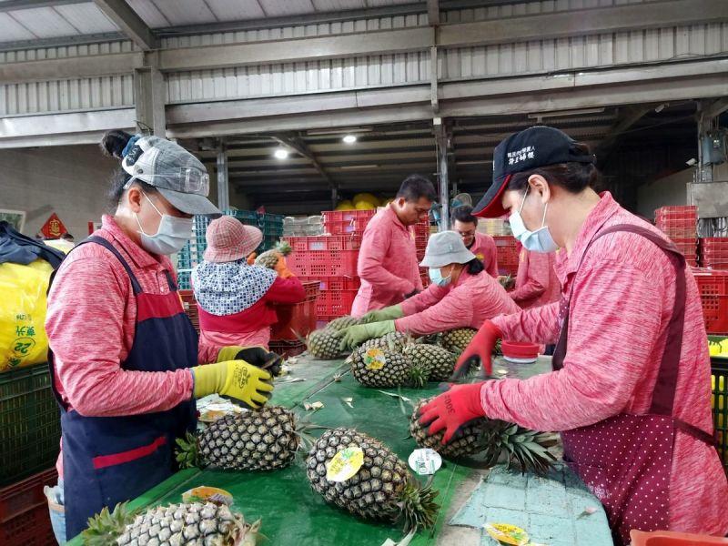 ▲今年屏東鳳梨外銷迄今6,717公噸,出口值達2.4億元,外銷出口國家地區為日本、香港、新加坡、加拿大等,持續拓展市場如澳洲等國家。(圖/屏東縣政府提供,