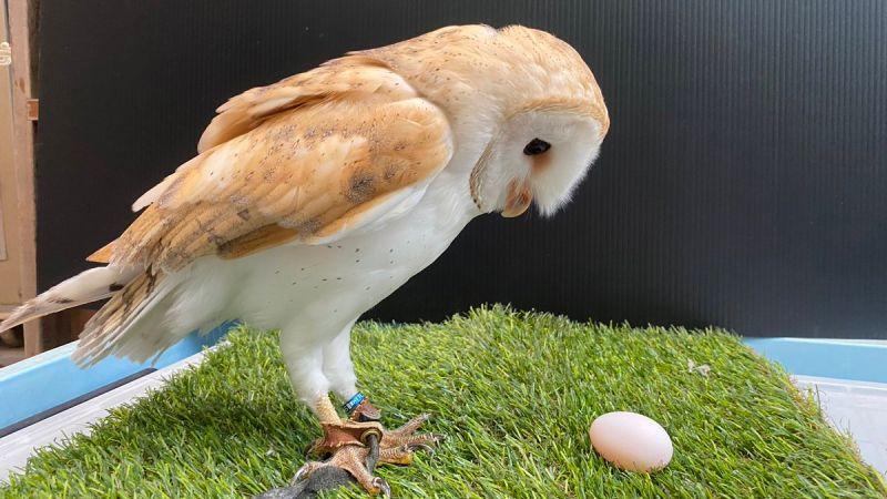 ▲日本徳山動物園一隻倉鴞,原本被園方公佈為雄性,但牠日前卻下蛋讓大家嚇傻。事後園方承認誤判了牠的性別。(圖/翻攝自@TOKUYAMA_ZOO的推特)