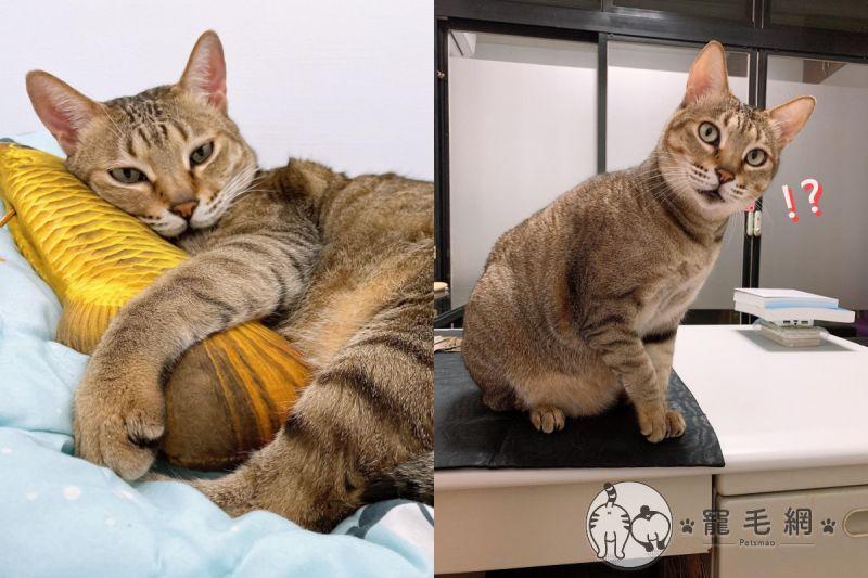 看見貓咪走路一跛一跛,網友趕緊送往醫院檢查!(圖/網友Sunny Wang授權提供)