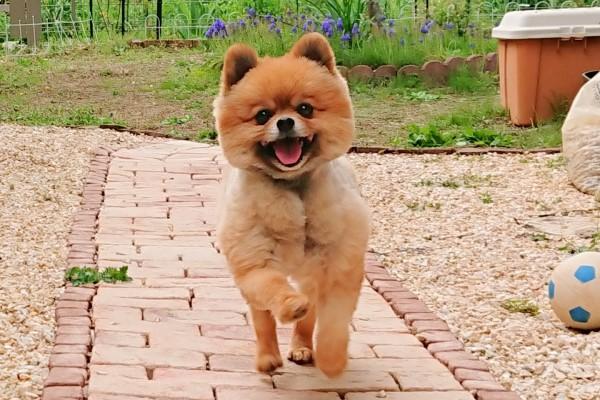 ▲「Pochi」是一隻活潑可愛的博美犬(圖/twitter