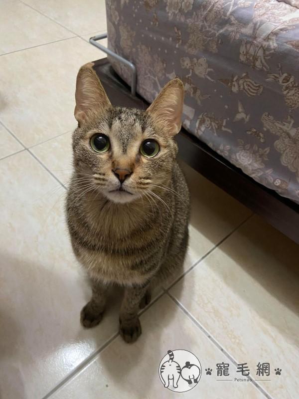 ▲這是虎斑貓:美男!(圖/網友劉家琳授權提供)