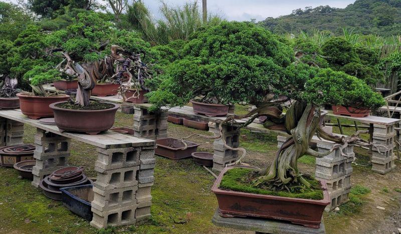 ▲有網友不小心害阿公生前留下的植物枯萎了,但植物的價值曝光後,讓他後悔不已。(圖/翻攝自《爆廢1公社》 )