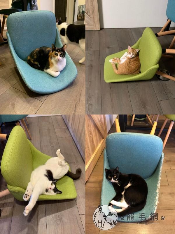 ▲雖然阿派個性獨立喜歡自己玩耍,但是牠與其他貓都會把椅子翻倒,不知道這樣是不是真的比較好躺?(圖/網友廖先生授權提供)