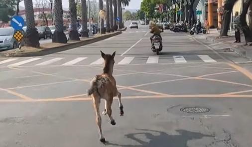 男子沒戴安全帽,騎車遛小馬。(圖/翻攝自臉書社團高雄大小事)