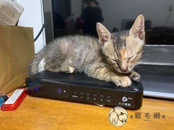 ▲哈娜一個月大時就開始喜歡待在機上盒睡覺(圖/網友劉展均授權提供)