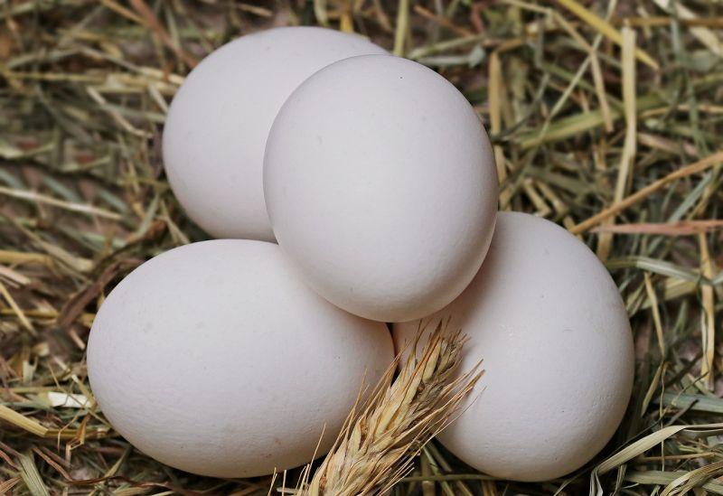 ▲生白蛋的雞種大多為來亨雞,因為生蛋速率高,成為市場上蛋雞的主流。(示意圖/翻攝自pixabay)
