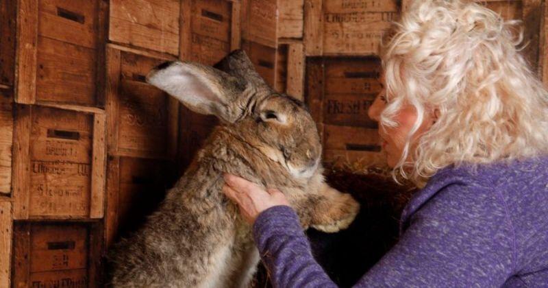 ▲打破金氏世界紀錄的英國巨兔大流士(Darius)於週二被當地警局通報於英國伍斯特郡家中遭竊。 (圖/擷取自Annette Edwards推特)