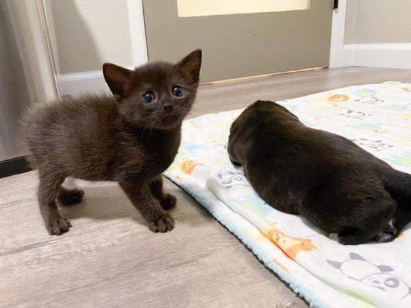 ▲某天Yige又幫忙照顧一隻小奶汪「烏爾里希」,佛羅多一臉疑惑地看這牠,彷彿在詢問:「這是貓?」(圖/IG