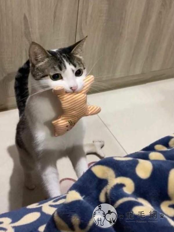 ▲咪米最喜歡叼著玩具要奴才陪玩「你丟我撿」的遊戲(圖/粉專Mimmy