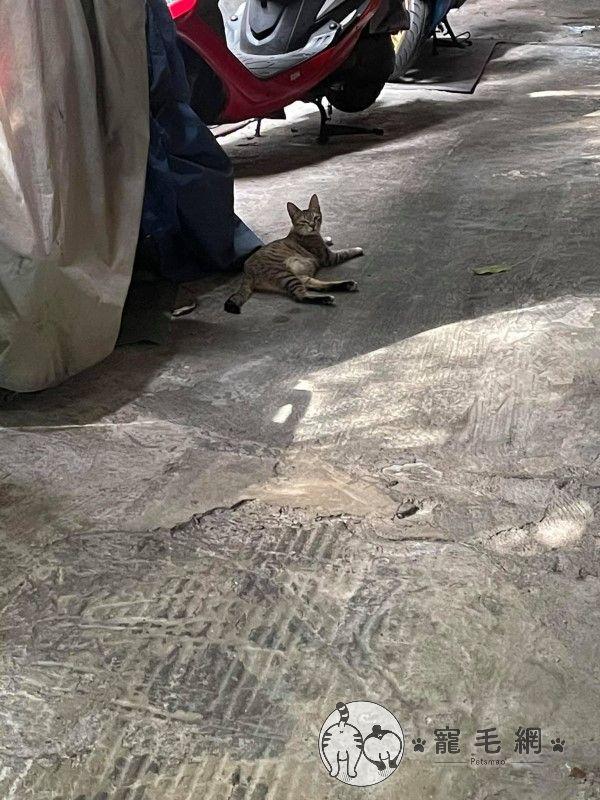 ▲隔天出門又見加害貓大搖大擺躺在外面!(圖/網友林香香授權提供)