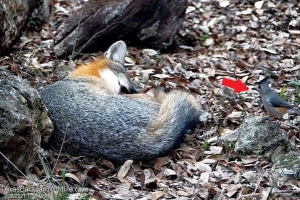 ▲日前一隻黑冠山雀在樹林裡發現一隻正在熟睡的狐狸(圖/Youtube