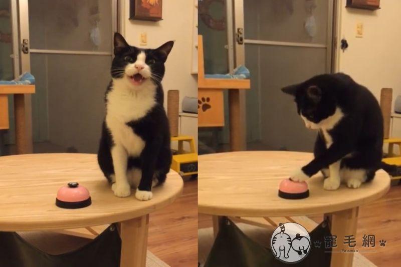 影/賓士貓緊迫盯人「按鈴討食」 媽笑:你討債的嗎?