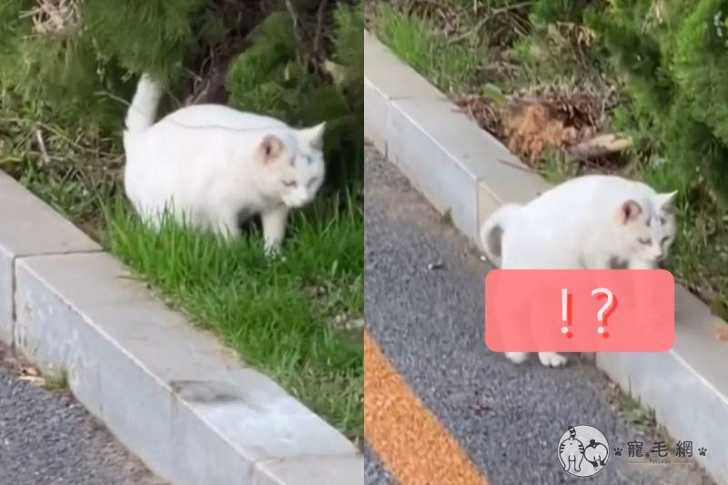 ▲中國北方的路上出現一隻白貓扶牆站著走!(圖/美聯社 AP+Newsflare)