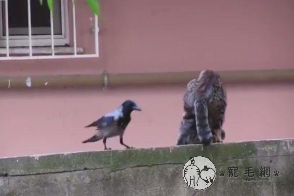 ▲日前吳先生在雲林鄉下看見一隻鳥盯著一旁的貓咪情侶恩愛ing(圖/粉專路上觀察學院吳先生授權提供)