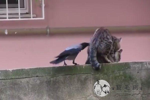 ▲鳥:(怒戳)滾開、滾開、滾開啦!(圖/粉專路上觀察學院吳先生授權提供)