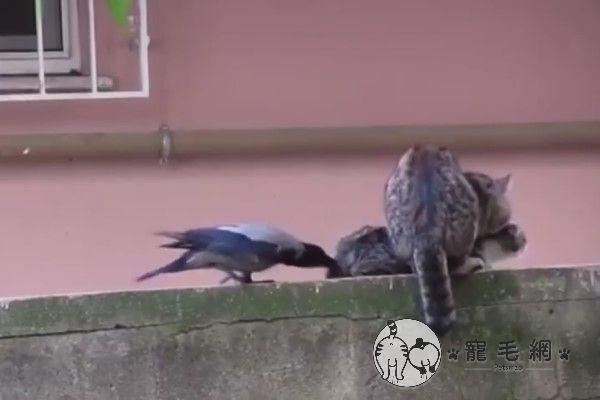 ▲鳥:(怒戳)母貓妳也是,絕育代替認養啦!(圖/粉專路上觀察學院吳先生授權提供)