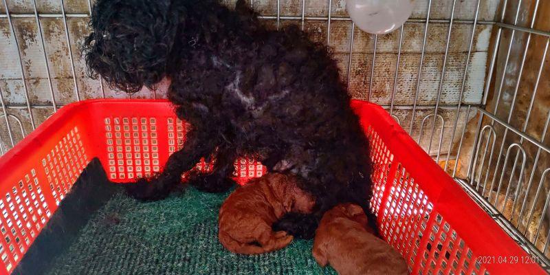 ▲動保處現場查獲20隻成犬及3隻幼犬,全部都是品種犬。(圖/動保處提供)