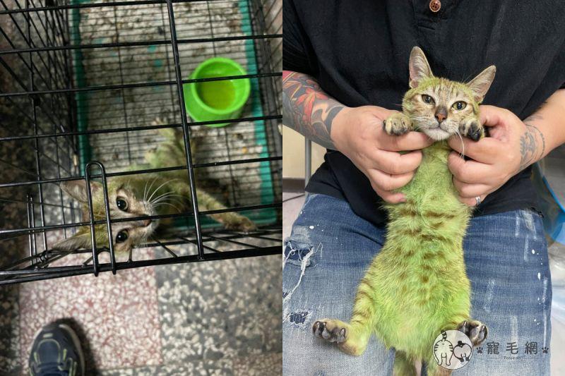 飼主因無聊將貓染成綠色,被台中善心團體救出後仍不治身亡。(圖/Facebook@ HelpHappyCat)