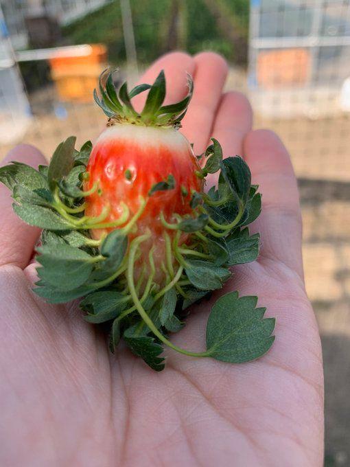 ▲其他網友分享的草莓發芽照。(圖/翻攝自@@masanori_nozawa的推特)
