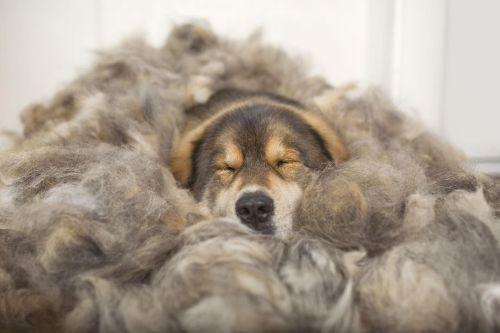 ▲自己的睡墊用自己的毛做!(圖/Instagram@