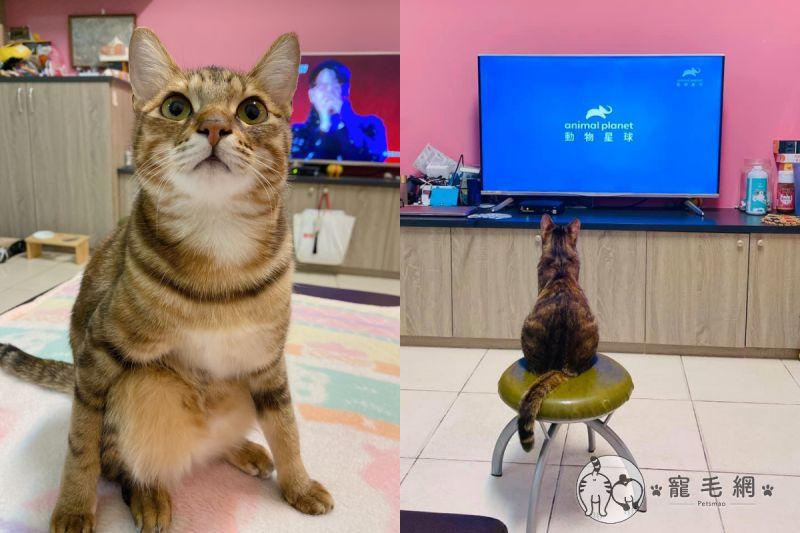▲媽媽擔心貓咪坐地上看電視會斜視,搬來椅子後貓立刻坐上去!(圖/Facebook@ 徐瑜瑄)