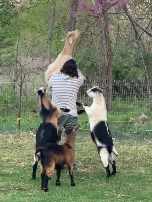 ▲下面的羊群圍了過來,還趴在男子身上要求有同樣待遇!(圖/Instagram@
