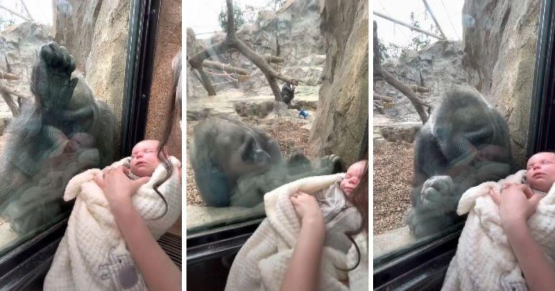 ▲一隻母猩猩竟目不轉睛、露出關愛的眼神盯著新生兒看。(圖/擷取自Michael Austin/YouTube)