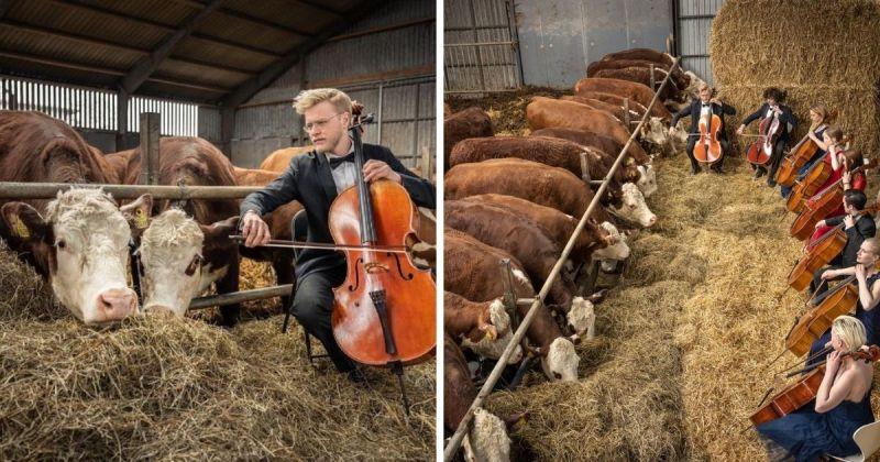 ▲丹麥斯堪的納維亞大提琴學校決定辦一場專屬於牛的音樂會,以便在疫情期間持續表演。 (圖/ 擷取自斯堪的納維亞大提琴學校臉書)