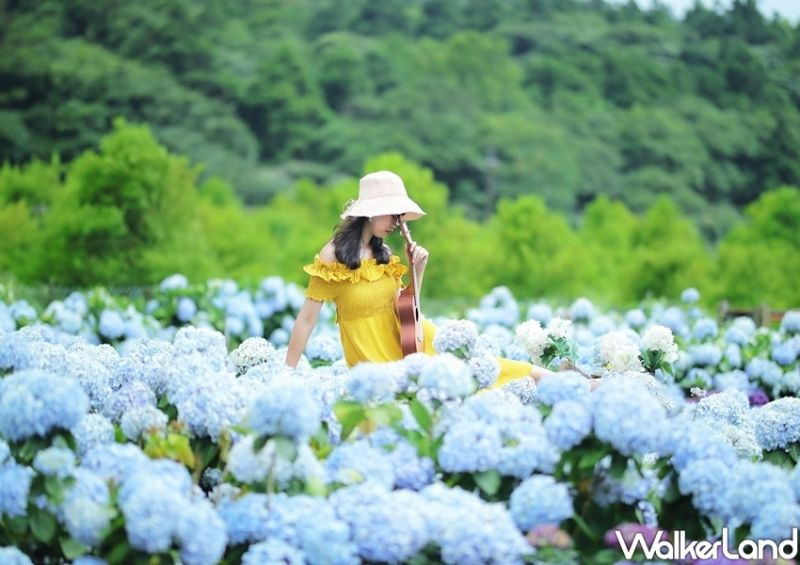竹子湖繡球花提前綻放了!賞花配兩景點成完美打卡日