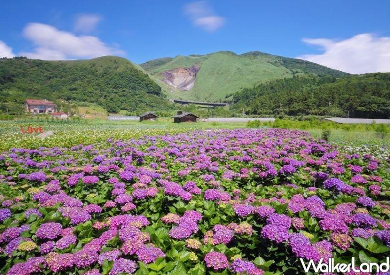 ▲竹子湖周邊的繡球花海園區有「花與樹、財福繡球花田、大梯田繡球花田」。(圖/Taipei
