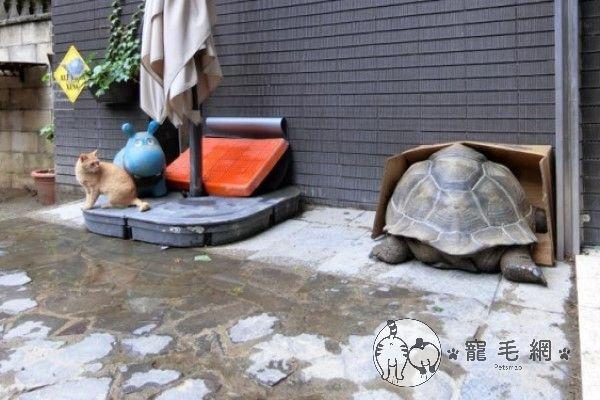 ▲一年前一隻浪橘到院子躲雨,驚見紙箱被象龜塞爆!(圖/粉專漢堡。Hamburg授權提供)