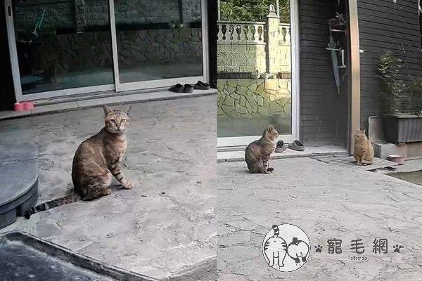 ▲炸蝦出現後,虎斑貓「草蝦」也開始出現在院子裡,牠雖然是炸蝦的朋友,但是非常怕人,總是看見人就匆匆躲開。(圖/粉專漢堡。Hamburg授權提供)