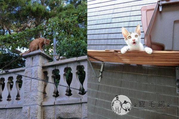 ▲幾個月後圍牆上出現一隻白底虎斑幼貓「壽司」,炸蝦見牠小小年紀又要流浪很可憐,竟然陪在牠身邊引導牠。(圖/粉專漢堡。Hamburg授權提供)