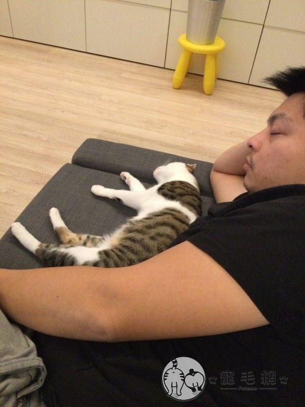 ▲壽司意外地治好漢堡爸爸的過敏,成為入住家中的第一隻貓寵兒,最喜歡黏在爸爸身邊!(圖/粉專漢堡。Hamburg授權提供)