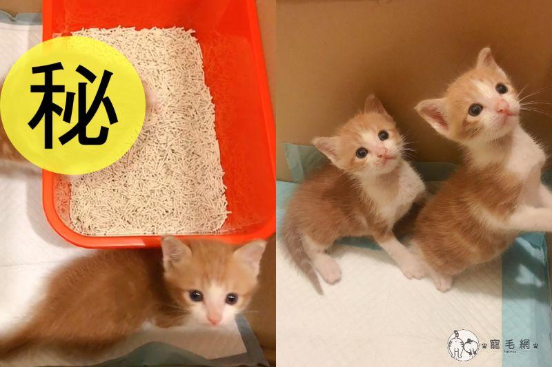 ▲小橘貓在貓砂盆尿到一半卻「斷電睡著」,同伴一直苦等牠離開。(圖/網友@Apple Lien授權)
