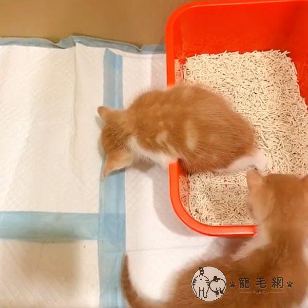 ▲小橘貓一哥上廁所卻睡著了!?(圖/網友@Apple