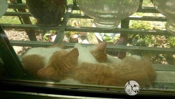 ▲兩隻小貓出生後,某一天開始就會自己跑來網友家窗台了。(圖/貓咪社團網友授權提供)