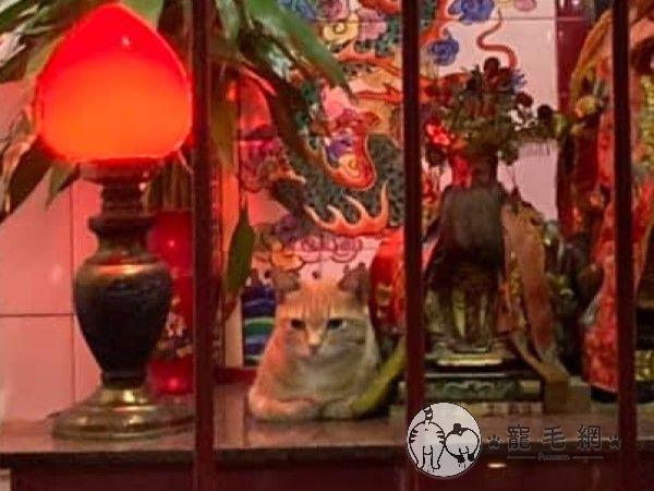 ▲橘貓:本喵來實習如何當個稱職的虎爺!(圖/網友林俊達授權提供)