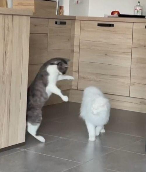 ▲旁邊的貓咪都嚇到跳起,彷彿在說:「你是怪物吧!」。(圖/AP+