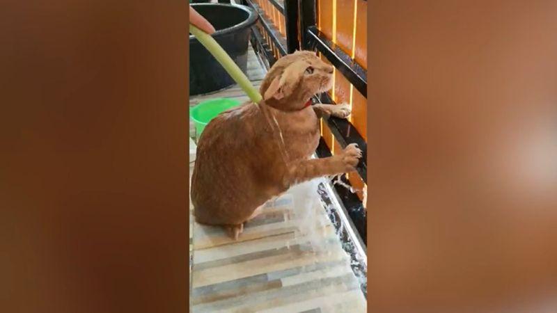 ▲橘貓像個雕像不動乖乖享受沖涼時光。(影/美聯社AP+