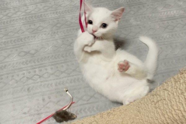 ▲「白玉」目前才三個月大,非常活潑好動,牠總是很快就「拆解」家中的貓玩具。(圖/twitter